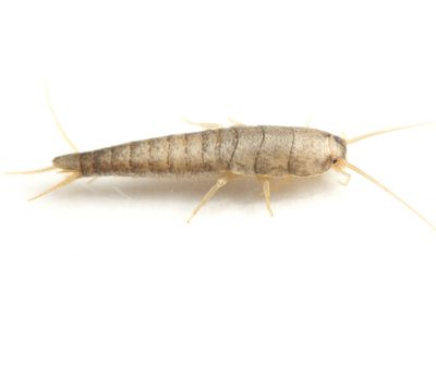 All_Clear Silverfish